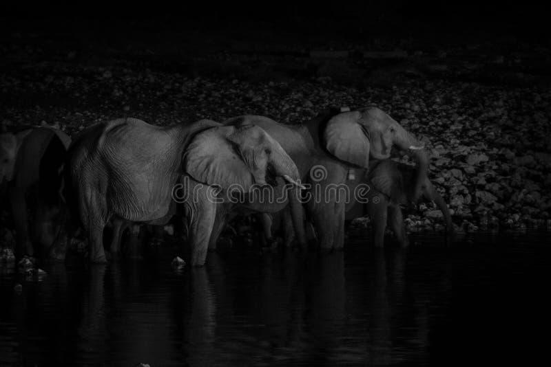 Elefantfamilj på waterhole på natten fotografering för bildbyråer