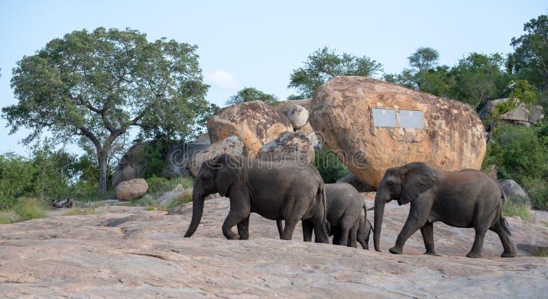 Elefantfamilj som går i den Kruger nationalparken, Sydafrika fotografering för bildbyråer