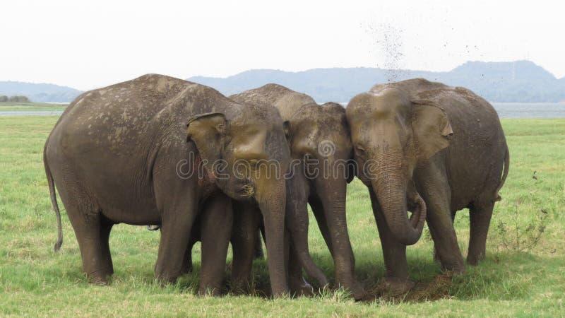 Elefantfamiljemedlemmar i den Minneriya nationalparken royaltyfri foto
