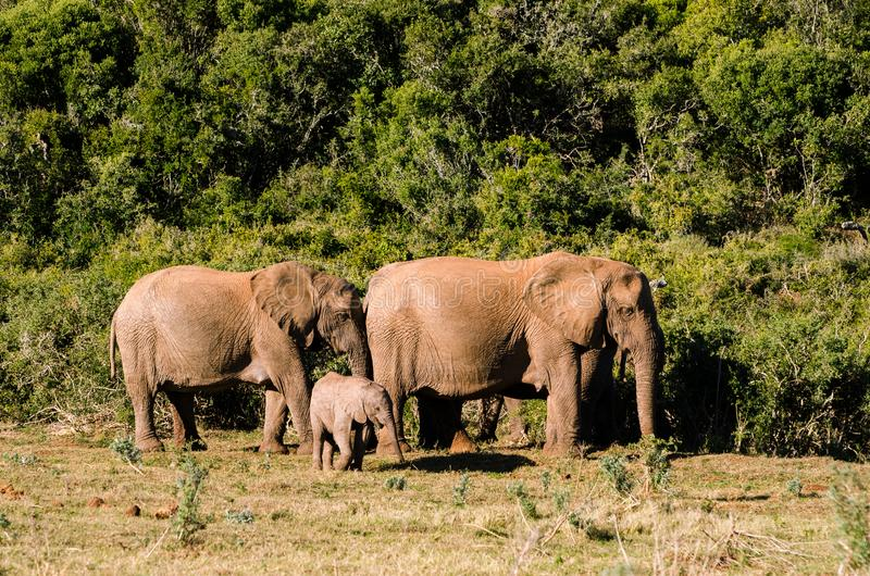 Elefantfamiljen, Addo elefanter parkerar, den Sydafrika djurlivphotoghraphyen royaltyfri foto