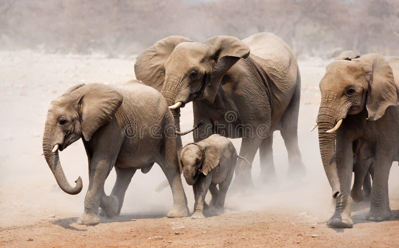 elefantflock fotografering för bildbyråer