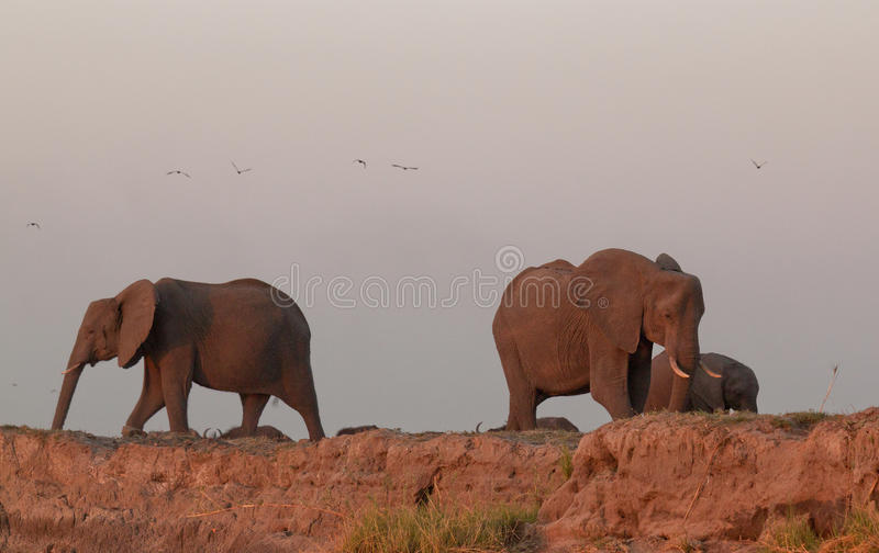 Elefantflock Botswana royaltyfri foto