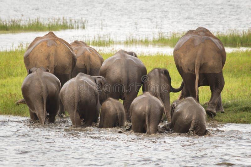 Elefantflockbadning på den Minneriya nationalparken, Sri Lanka arkivbild