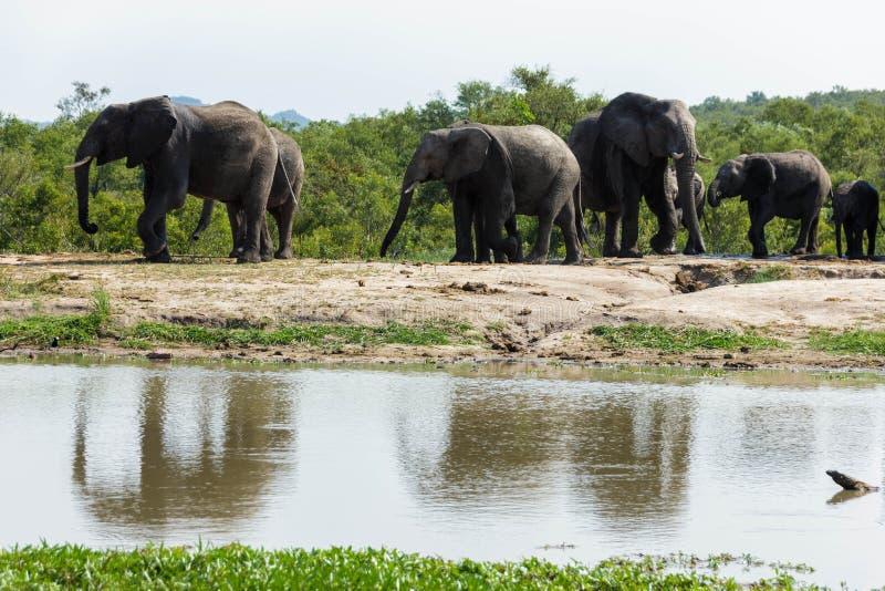 Elefantflocken som besöker ett bevattna hål på en varm och fuktig dag i, parkerar fotografering för bildbyråer