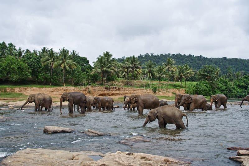 elefantflockflod arkivbild