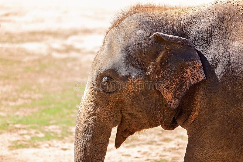 Elefantframsida i slut upp royaltyfria foton