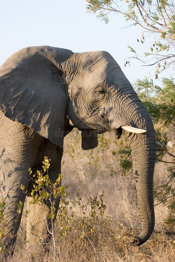 Elefantfrau lizenzfreies stockbild