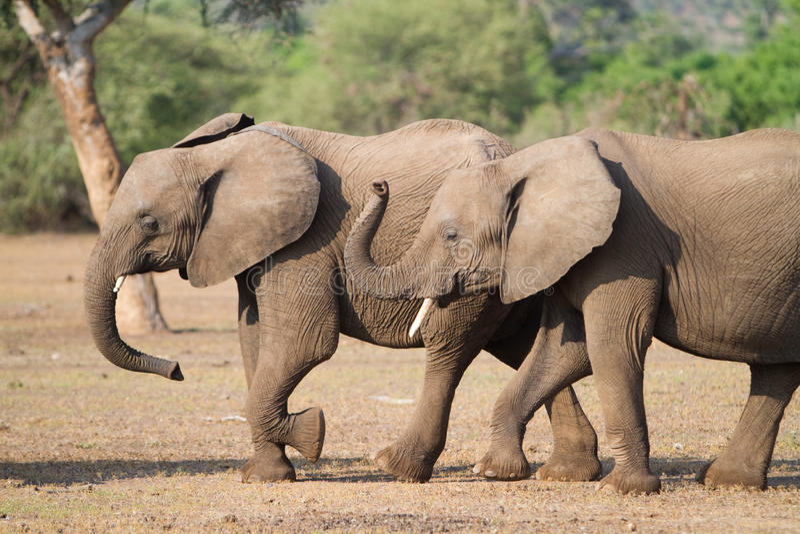 Elefantgeschwister lizenzfreie stockfotografie