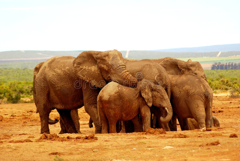Elefantgruppenumarmung lizenzfreies stockfoto