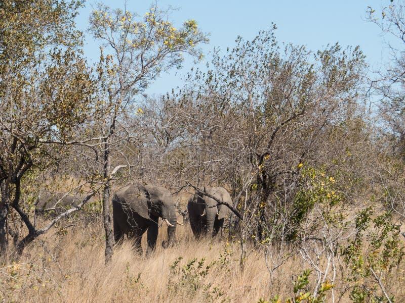 Elefantherde in Nationalpark Kruger stockfoto