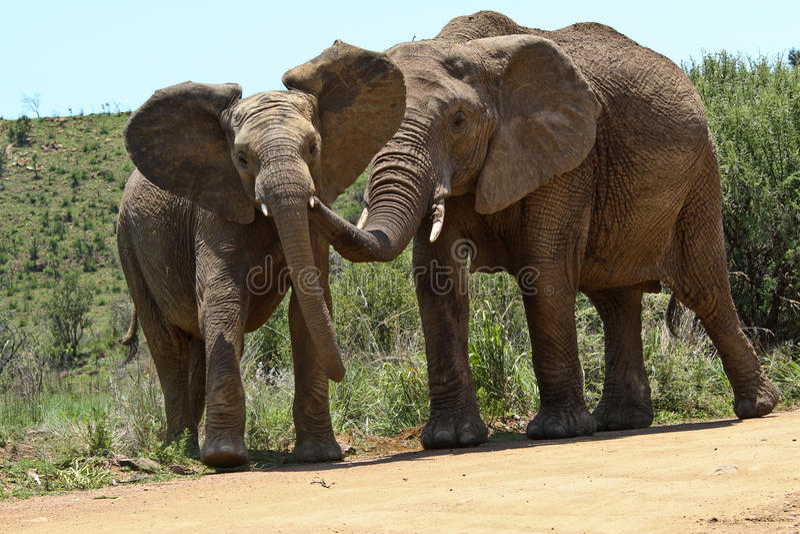 Elefanti fotografie stock