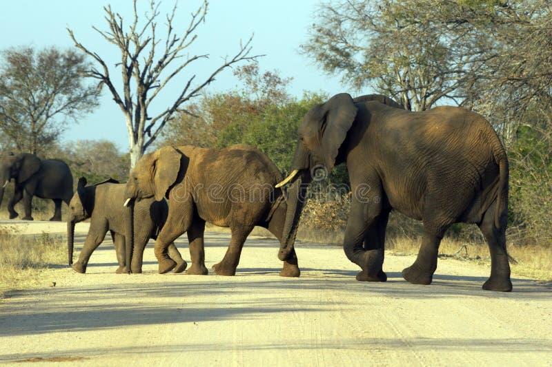 Elefanti immagini stock