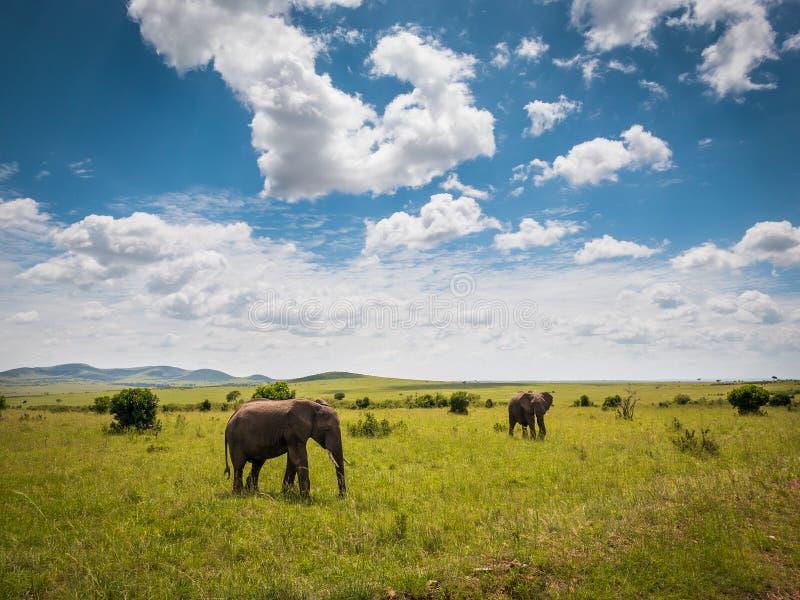 Elefanti africani nel parco di Masai Mara, Kenya fotografie stock