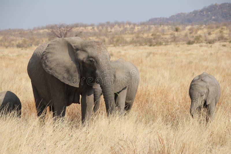 Elefanti al parco nazionale di Ruaha, Tanzania Africa orientale fotografia stock libera da diritti