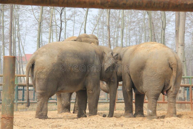 Elefanti asiatici (elephas maximus) - famiglia unita immagini stock libere da diritti