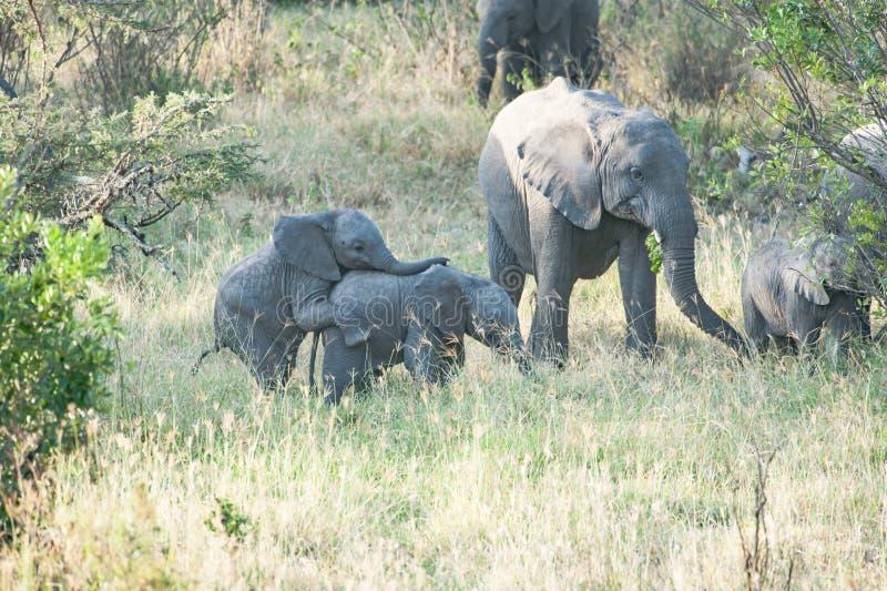 Elefanti, bambini gemellati allegri dell'elefante in Tanzania, Africa fotografie stock libere da diritti