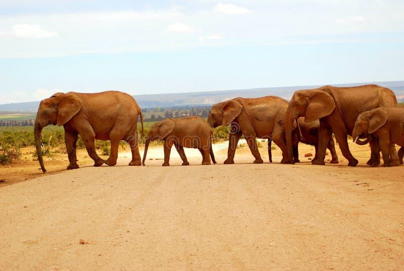 Elefanti che attraversano strada immagini stock libere da diritti