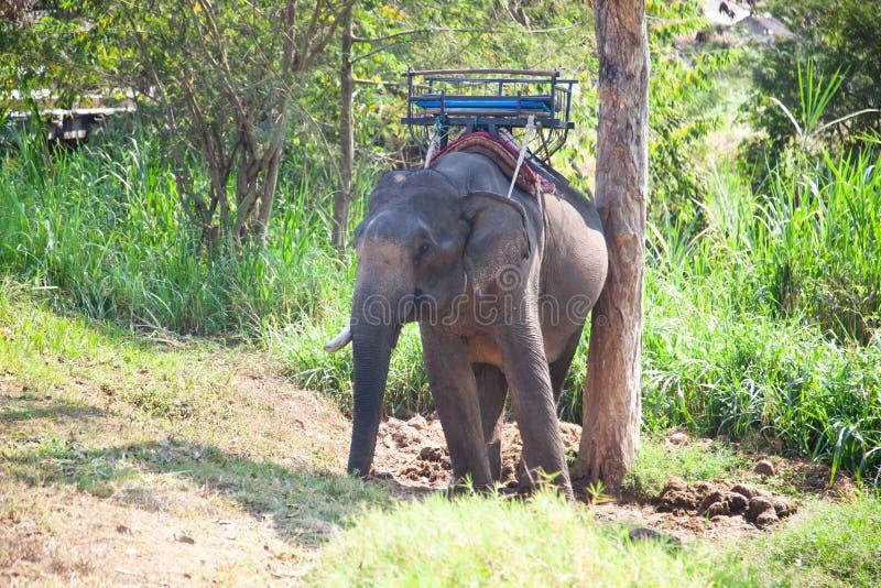 elefanti che sono prigioniero tenuto in un campo Chiang Mai dell'elefante fotografie stock libere da diritti