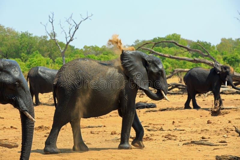 Elefanti che tanding sulle pianure asciutte che si spolverano con la sabbia, contro un fondo verde vibrante del cespuglio fotografie stock libere da diritti