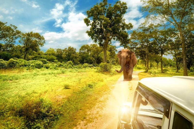Elefanti d'esplorazione del lwild al safari della jeep nello Sri Lanka immagine stock
