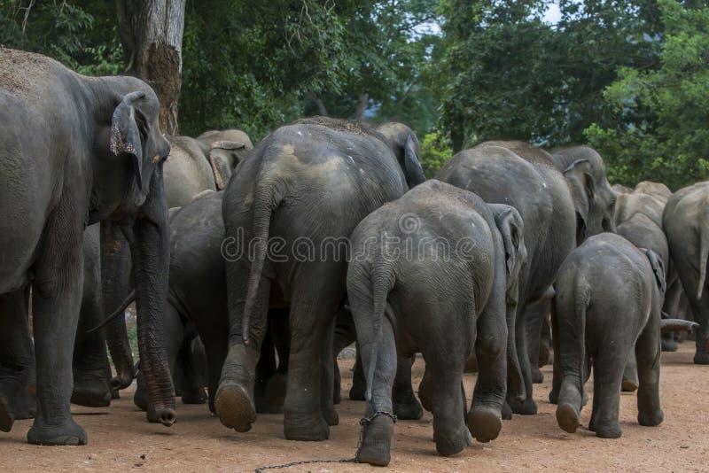 Elefanti dall'orfanotrofio dell'elefante di Pinnewala & dal x28; Pinnawela& x29; cominci la loro passeggiata a Maha Oya River immagine stock
