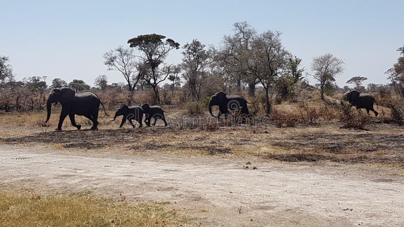 Elefanti del bambino immagine stock libera da diritti