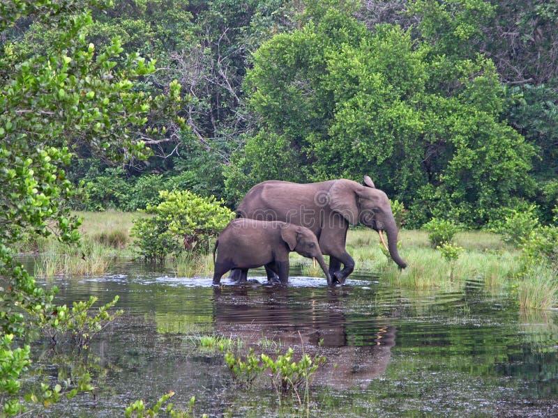 Elefanti della foresta, Gabon, Africa occidentale immagini stock