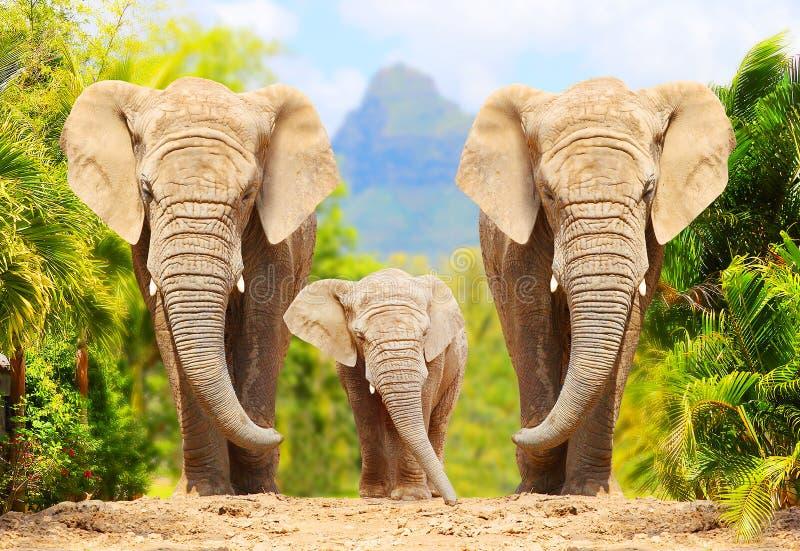 Elefanti di Bush dell'Africano - famiglia di loxodonta africana fotografia stock libera da diritti