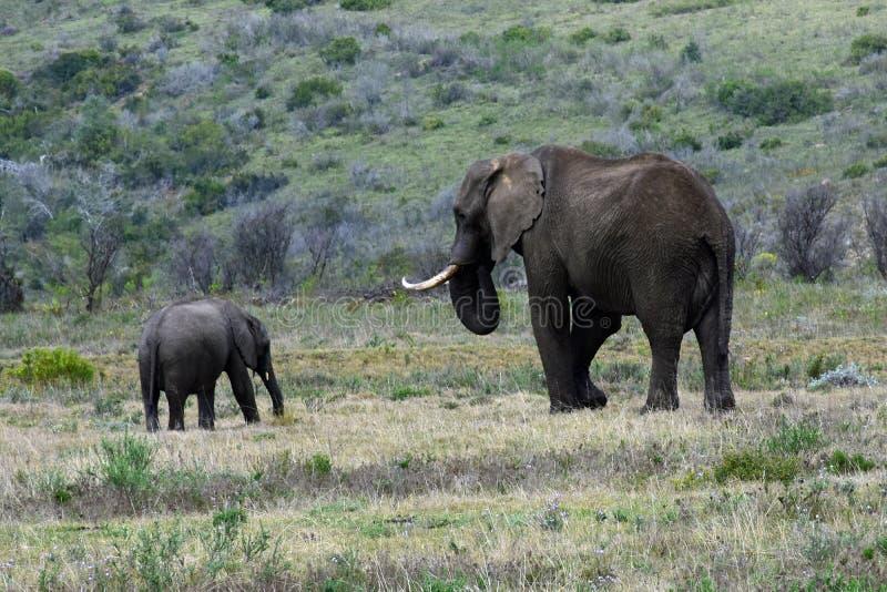 Elefanti di Bush dell'Africano, riserva di Botlierskop, Sudafrica immagini stock libere da diritti