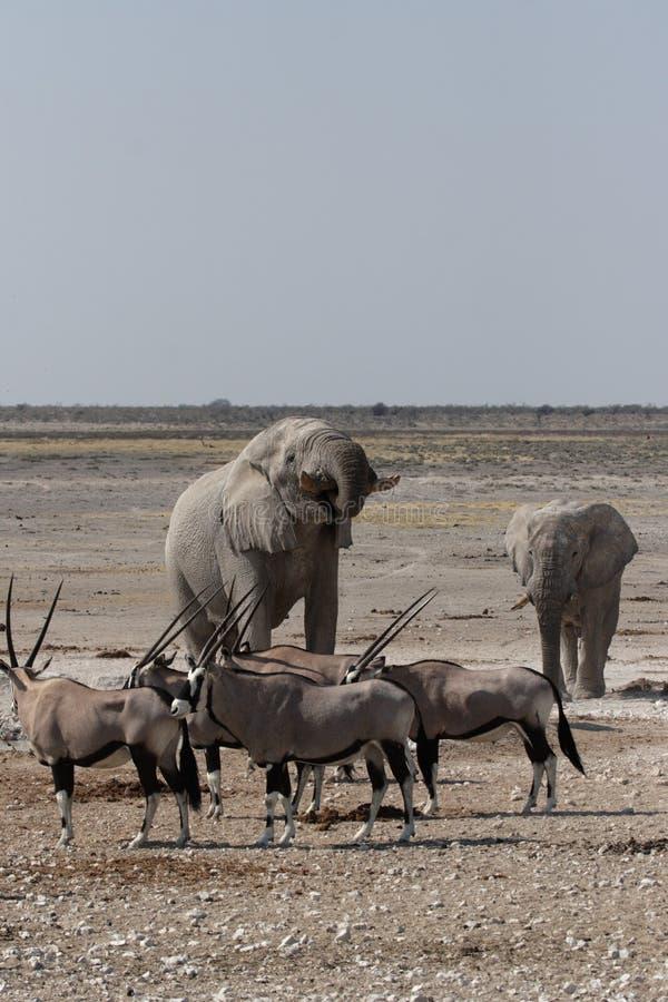 Elefanti e Gemsbok immagine stock