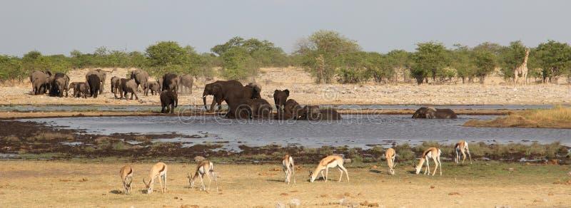 Elefanti, giraffa e impale intorno al waterhole fotografia stock libera da diritti