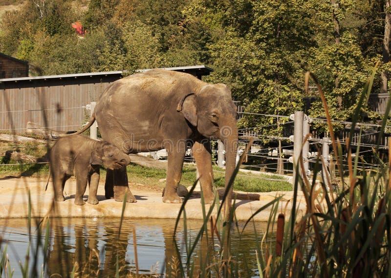 Elefanti indiani fotografie stock libere da diritti