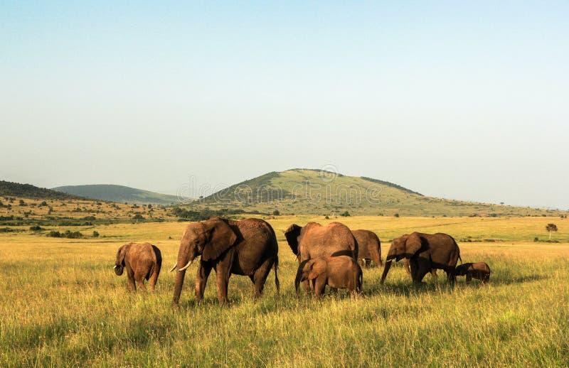 Elefanti in Maasai Mara, Kenya immagine stock libera da diritti