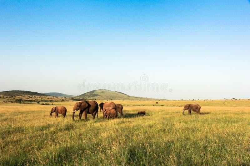 Elefanti in Maasai Mara, Kenya fotografia stock libera da diritti