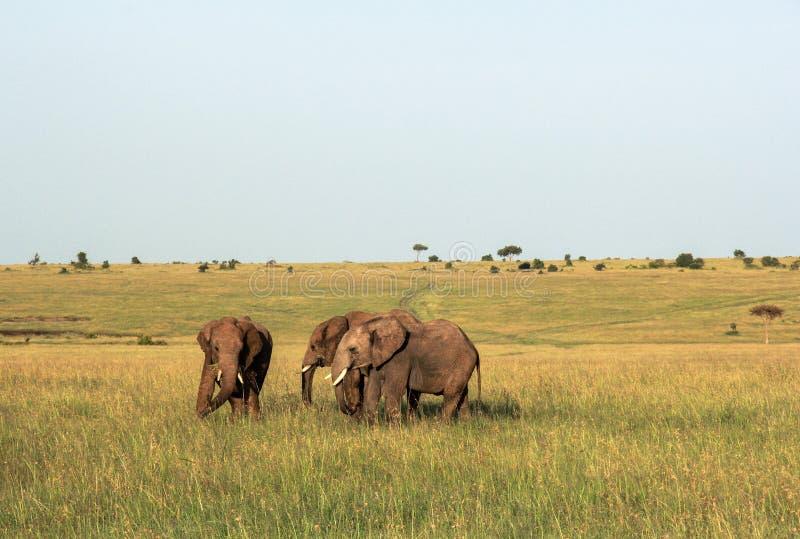 Elefanti in Maasai Mara, Kenya fotografia stock