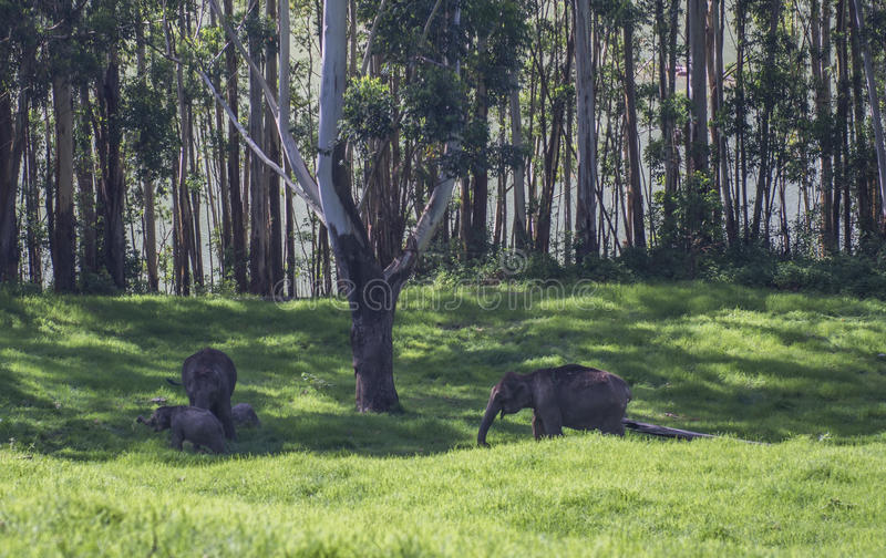 Elefanti nel santuario di fauna selvatica di Munnar immagini stock libere da diritti