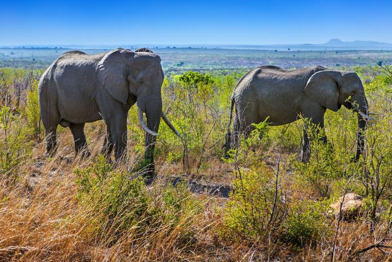 Elefanti, parco nazionale di Kruger immagini stock libere da diritti