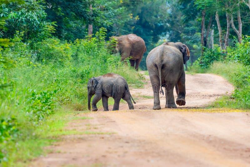 Elefanti selvaggi che camminano sulla via fotografia stock
