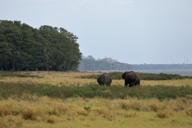 Elefanti selvaggi dello Sri Lanka fotografia stock libera da diritti
