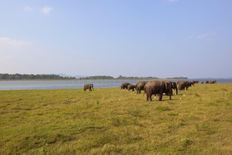 Elefanti selvaggi dello Sri Lanka nel parco nazionale di Minnerya fotografie stock