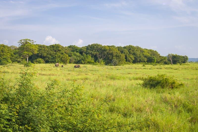 Elefanti selvaggi, Sri Lanka fotografia stock