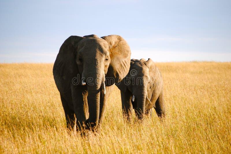 Elefanti su un safari fotografia stock libera da diritti