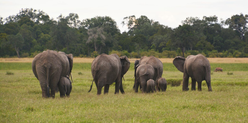 Elefanti su una pianura erbosa fotografie stock