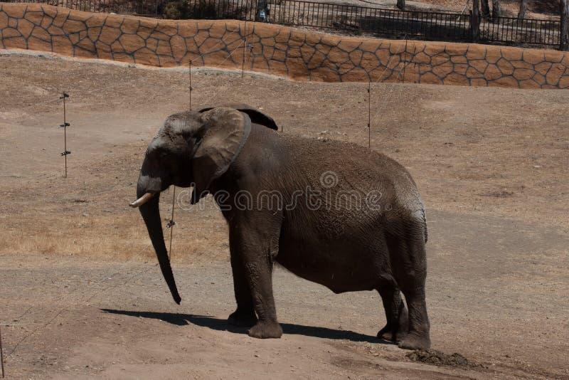 Elefanti in un safari, vista vicina, con un fondo naturale e caldo Con il chiaro cielo ed i precedenti blu Habitat caldo fotografia stock libera da diritti