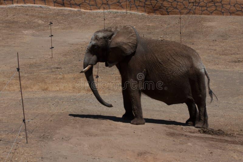 Elefanti in un safari, vista vicina, con un fondo naturale e caldo Con il chiaro cielo ed i precedenti blu Habitat caldo immagini stock libere da diritti