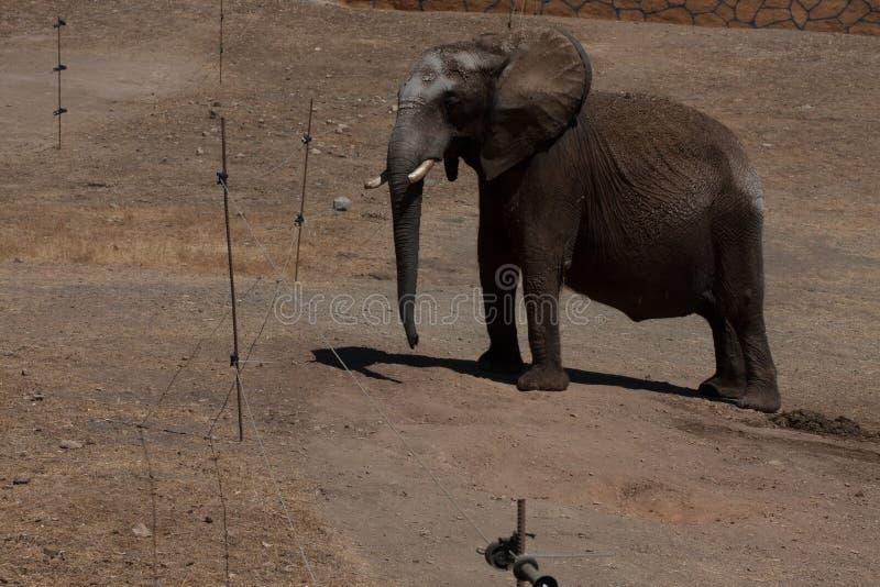 Elefanti in un safari, vista vicina, con un fondo naturale e caldo Con il chiaro cielo ed i precedenti blu Habitat caldo fotografie stock libere da diritti