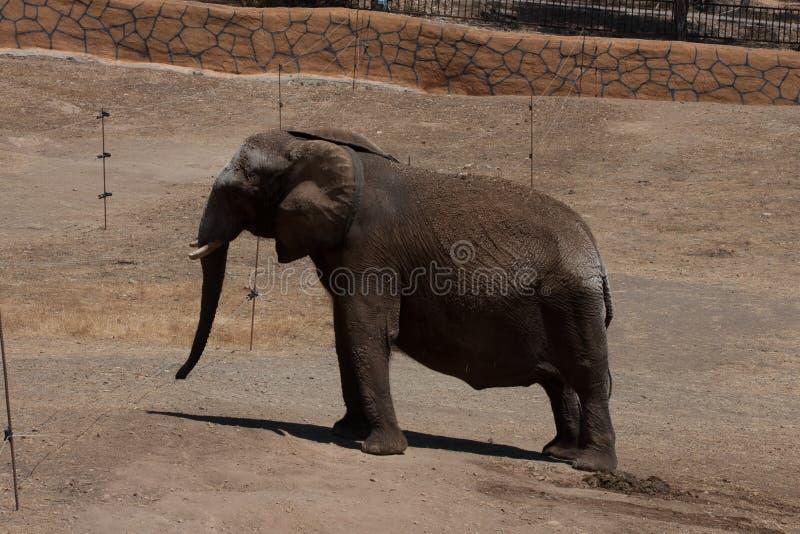 Elefanti in un safari, vista vicina, con un fondo naturale e caldo Con il chiaro cielo ed i precedenti blu Habitat caldo immagine stock libera da diritti