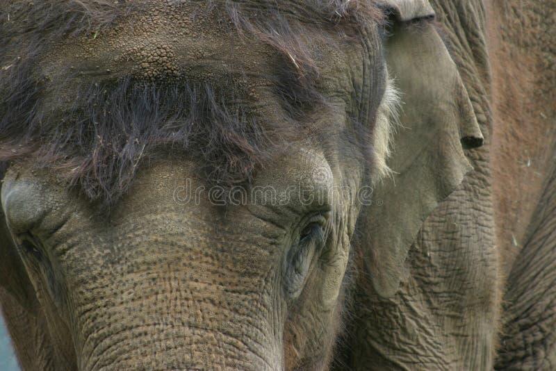 elefantindierstående arkivfoto