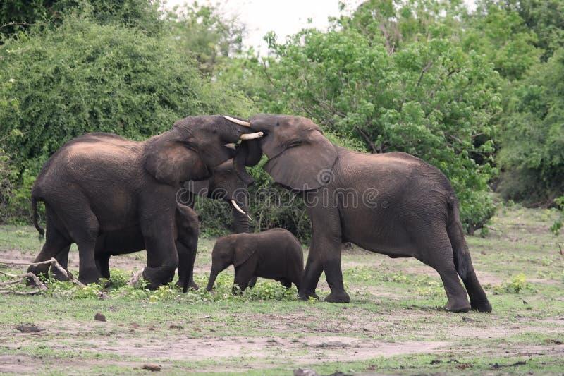 Elefantkämpfen stockbild