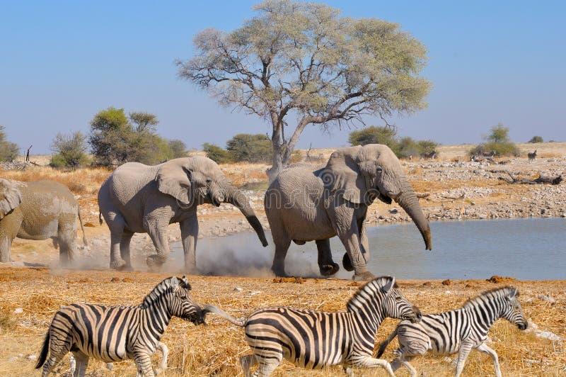 Elefantkabbelei, Nationalpark Etosha, Namibia stockbild